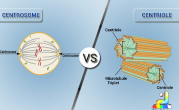 Difference Between Centrosome and Centriole