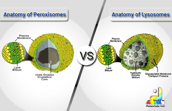 Difference Between Peroxisomes and Lysosomes