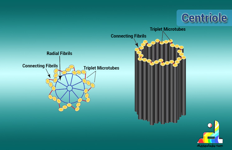 What is Centriole