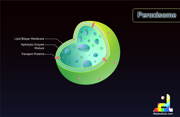 What is a Lysosomes?